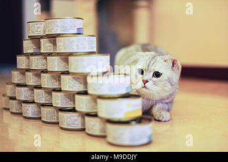 gray cat with food can - Stock Image