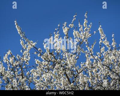 Flowering plum tree in Spring - Stock Image