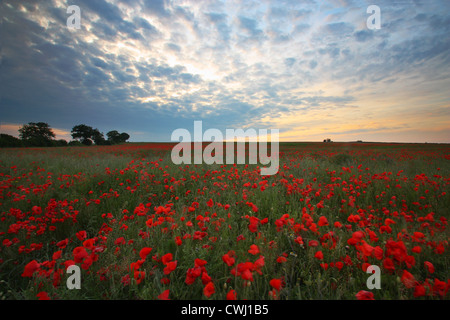 Poppies at sunset in Heartwood Forest - Stock Image