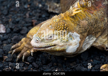 Galapagos islands island South America Ecuador travel tourism adventure Santa Cruz Island Iguana lizard - Stock Image
