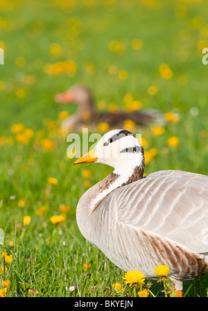 Bar-headed goose - Stock Image