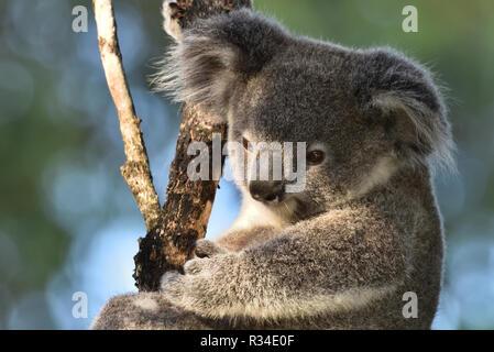 An Australian, Queensland Joey Koala ( Phascolarctos cinereus ) up in a tree extreme close-up - Stock Image