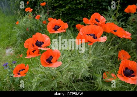 Large Poppies in wild, Dorset, UK - Stock Image