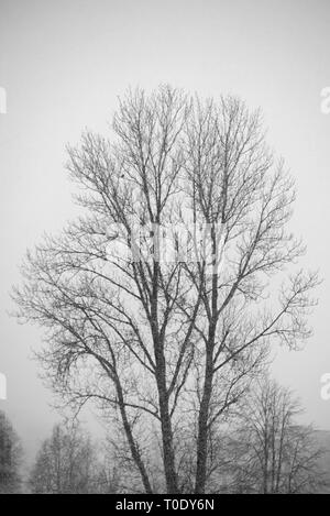 Big lonely tree in heavy snowfall. Winter time - Stock Image