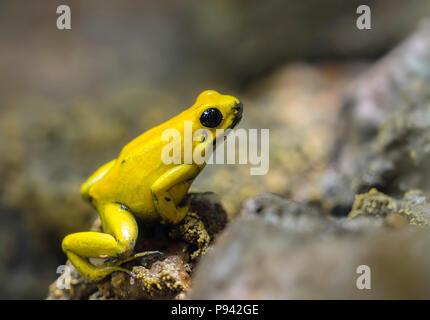 Golden poison frog - Stock Image