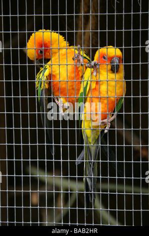 Sun Conure Parrots, Aratinga solstitialis, Psittacidae - Stock Image