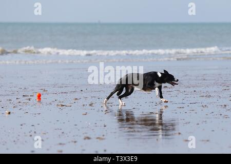 Hastings, East Sussex, UK. 12 Apr, 2019. UK Weather: Bright with sunny intervals in the seaside town of Hastings in East Sussex. A dog runs and plays with an orange ball on the beach whilst the tide is low. © Paul Lawrenson 2019, Photo Credit: Paul Lawrenson/Alamy Live News - Stock Image