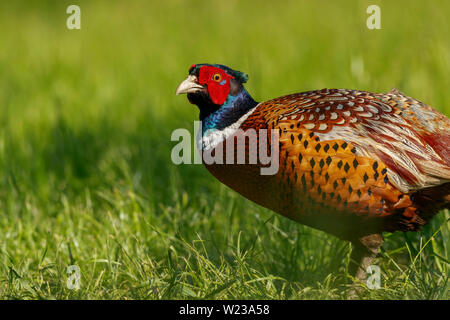 Male common pheasant, Phasianus colchicus, standing in grass, Koros-Maros National Park, Bekes County, Hungary - Stock Image