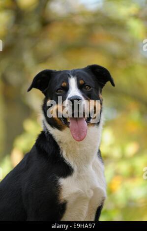 Appenzeller Sennenhund or Appenzell Mountain Dog, Germany - Stock Image