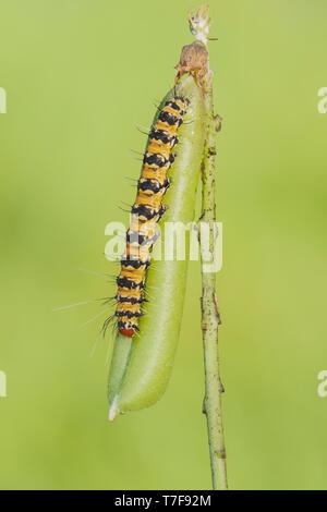 An Ornate Bella Moth (Utetheisa ornatrix) caterpillar feeds on a Rattlebox (Crotalaria sp.) pod. - Stock Image