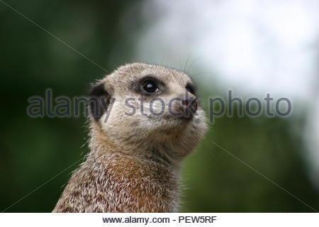 Head and shoulders shot of an alert Meerkat. - Stock Image