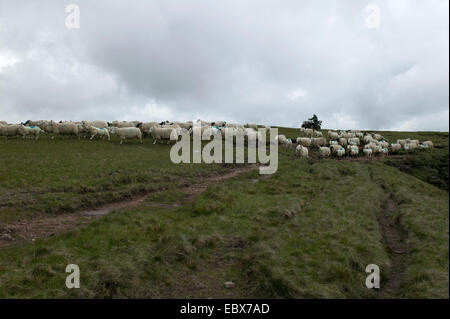 Welsh sheep farming - Stock Image