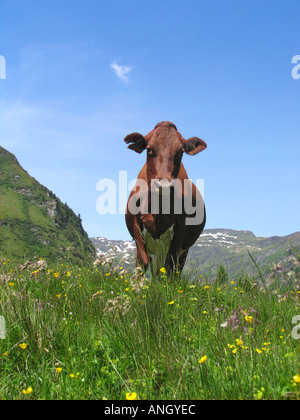 Contented cow - Stock Image