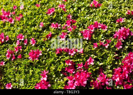 Azalea bush at Portland Japanese Garden in Portland, Oregon, USA. - Stock Image
