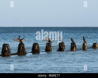 Cormorants sitting on a sea groyne. - Stock Image