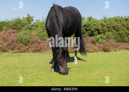 New forest pony roaming free in the new forest uk and grazing on the lush green grass pastures. - Stock Image