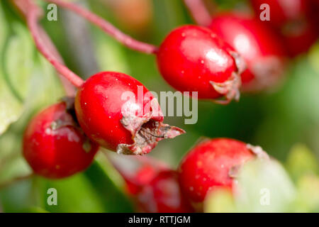 Hawthorn, Whitethorn or May-tree (crataegus monogyna), close up of a cluster of ripe red berries or haws. - Stock Image