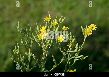 Cabbage Lettuce (Lactuca sativa capitata). Stem with flowers. - Stock Image