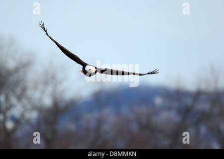 A Bald Eagle (Haliaeetus leucocephalus) hunting over the Mississippi River in winter - Minnesota, USA. - Stock Image