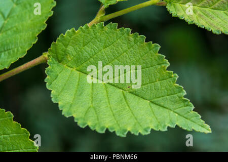 Young foliage of juvenile of what is believed to be English Elm [Ulmus minor] though it might be the rarer Cornish Elm [U. minor var. cornubiensis]. - Stock Image