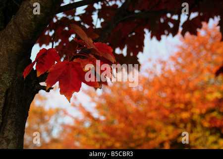 The reds oranges browns of a maple tree in the fall season - Stock Image