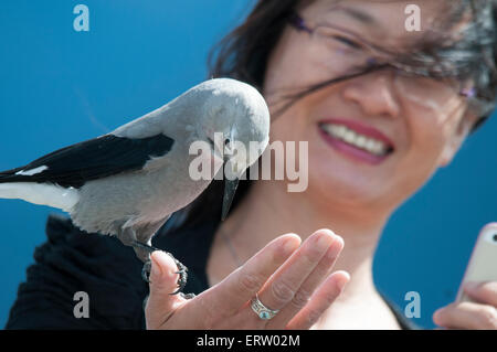 Asian woman holding bird (Clark's Nutcracker) in hand. - Stock Image