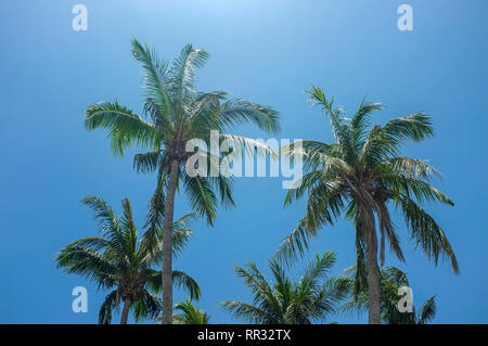 Palm trees against a blue sky. - Stock Image
