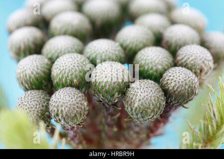 single stem many round flower heads, close up brunia albiflora still life  - strength and abundant Jane Ann Butler - Stock Image
