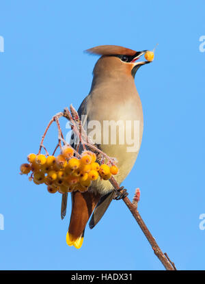 A Waxwing with a frosted yellow berry in its beak sitting on a twig of a town tree with a cluster of yellow frosted - Stock Image