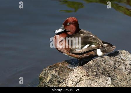 Ferruginous duck or pochard (Aythya nyroca) posing on the shore - Stock Image
