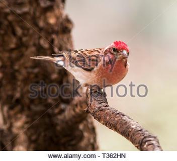 Cassin's Finch, Carpodacus cassinii, perched in branch in Arizona USA - Stock Image