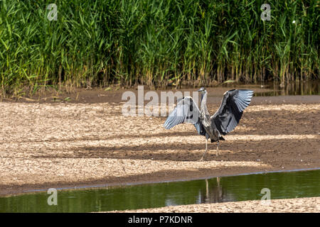 East Riding of Yorkshire, UK. 6th July 2018. Blacktoft sands Google 6th July 2018: Clear blue sky's on a very hot day, 2018 turning out to be a very good breeding year for many spices of wetland birds. Grey Heron landing  Clifford Norton Alamy  Live News. Credit: Clifford Norton/Alamy Live News - Stock Image