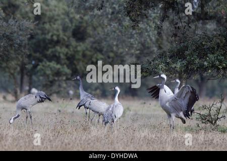 Common Crane, Eurasian Crane, Grus grus, Kranich, Extremadura, Spain, families feeding in dehesas with oak trees - Stock Image