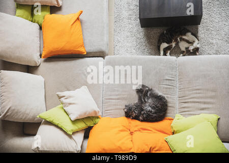 Two cats are lying next to each other on the couch with lot of colourful pillows and on the carpet. Photo taken from above. - Stock Image