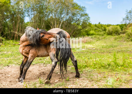 Candid animal portrait of brown wild pony side-on stretching to groom itself. Taken in Dorset, England. - Stock Image