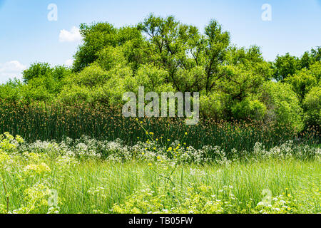 Cattail reeds, Hemlock and other native species growing at the San Luis National Wildlife Refuge in the Central Valley of California USA - Stock Image