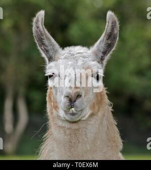 Cream Llama (lama glama) - Stock Image