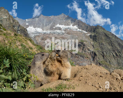 Marmot mom with baby - Stock Image