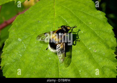 Bumble bee plume-horn, a hover fly (Volucella bombylans: Syrphidae), a white-tailed bumble bee mimic UK - Stock Image