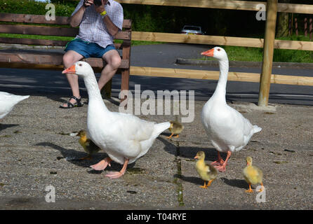 Family of wild white geese with goslings / young at South Hanningfield Reservoir, between Billericay and Chelmsford in Essex - Stock Image