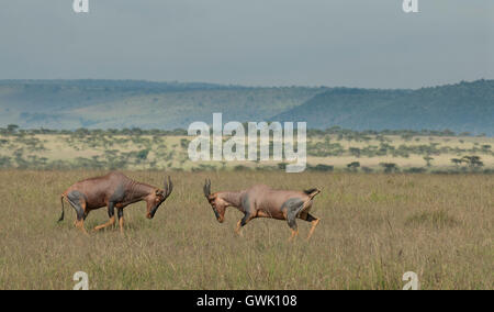 Topis fighting in the wilds of Africa. Kenya. - Stock Image