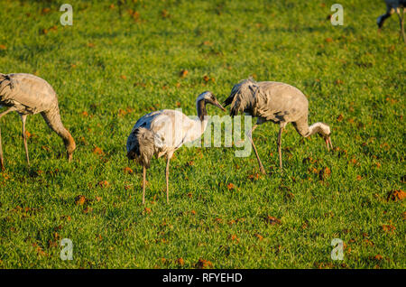 Common crane, Eurasian crane, in fields near Fuente de Piedra, Spain. - Stock Image