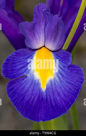 Blue violet Iris Iridaceae flower petal close up on grey background - Stock Image