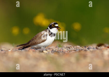 Little ringed plover (Charadrius dubius), calling male, Biosphere Reserve Middle Elbe, Saxony-Anhalt, Germany - Stock Image