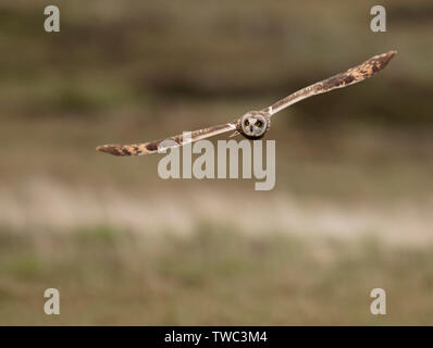 A wild Short Eared Owl (Asio Flammeus) hunts low over grasslands, North Uist, Outer Hebrides, Scotland - Stock Image