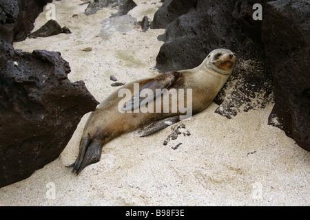 Galapagos Sea Lion, Zalophus wollebaeki, San Cristobal Island, Galapagos Islands, Ecuador, South America - Stock Image
