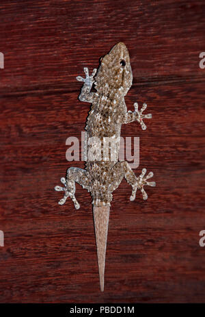 Moorish Wall Gecko,(Tarentola mauritanica), also known as Common Wall Gecko, hunting insects on wall, Ibiza, Balearic Islands, Spain - Stock Image