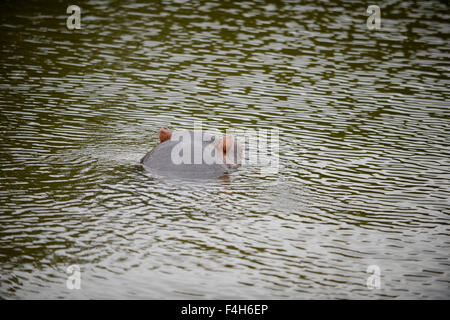 Hippo in the water - Stock Image