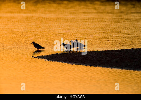 Shorebirds at sunrise at the mouth of the Connecticut River in Old Lyme, Connecticut.  The Nature Conservancy's - Stock Image