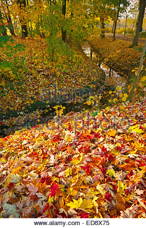 Fallen maple leaves cover the ground by a small creek running near Fürstenau castle in Lower Saxony, Germany. - Stock Image